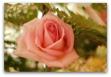 Reversed image of the pink rose photograph.