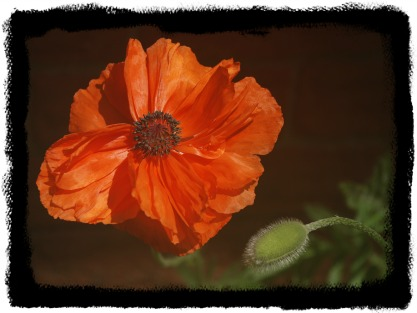 Photo of a beautiful red poppy
