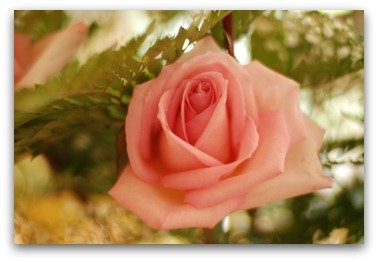 Photograph of a pink rose taken by Cheryl Poulin